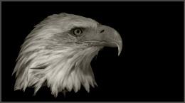Bold Eagle profile face