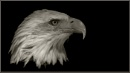 Bold Eagle profile face by ugly