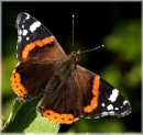 Red Admiral on apple leaf by HobbitDave