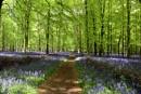 Dockey Wood Bluebells by peterthowe