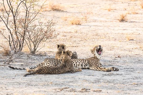 Cheetah Yawn Namibia by rontear