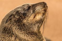 Cape Fur Seal portrait