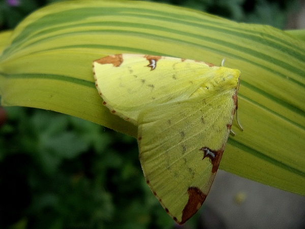 Brimstone Moth by TonyDy