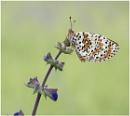 Spotted Fritillary. by NigelKiteley