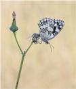 Marbled White. by NigelKiteley