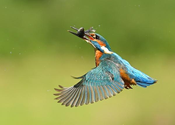 Kingfisher by Brian_Scott
