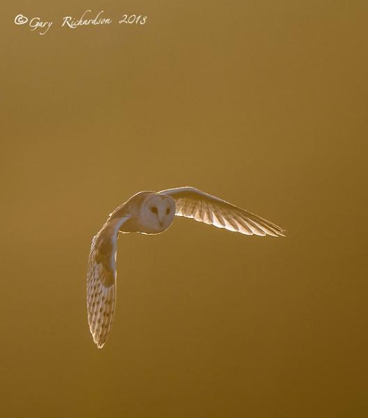 barn owl at sunset by djgaryrichardson
