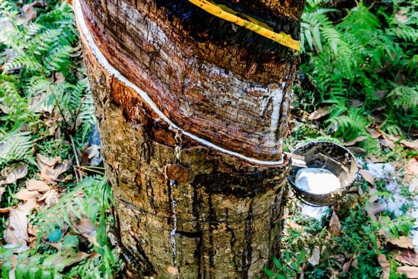 Rubber Tree by bobbyl