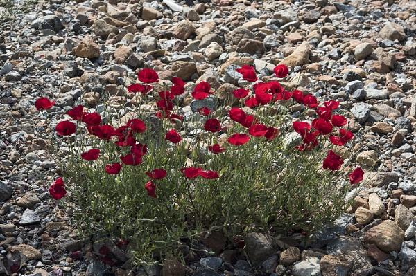 Papaver rhoeas, Common Poppy; Lesbos race with intense crimson colour. by jon07wilson