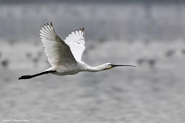 Spoonbill in flight by swami1969
