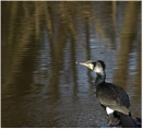 Cormorant by Fred263