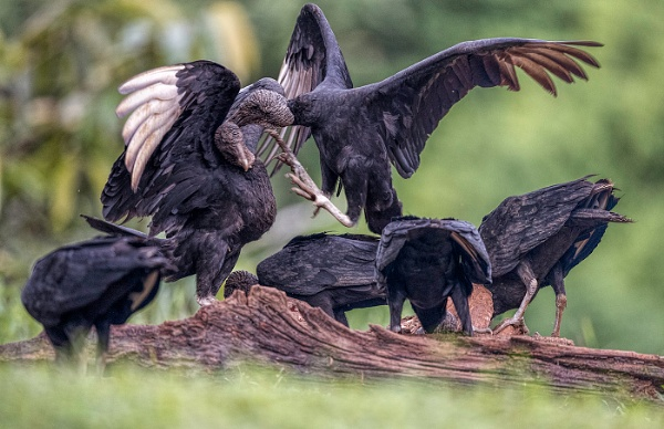 Black Vulture Fight by suejoh