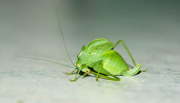long-horned Grasshopper by Coen