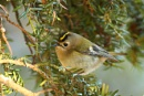 Goldcrest by bobpaige1