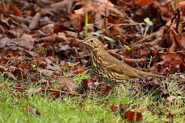 Song Thrush--Turdus philomelos by bobpaige1