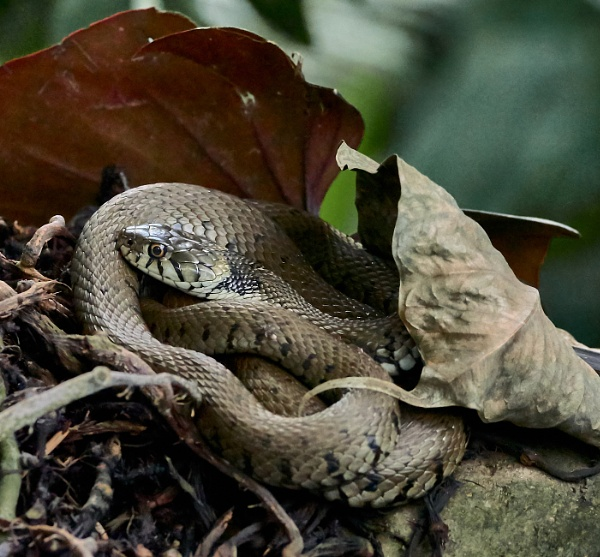 Resting Snake by JJGEE