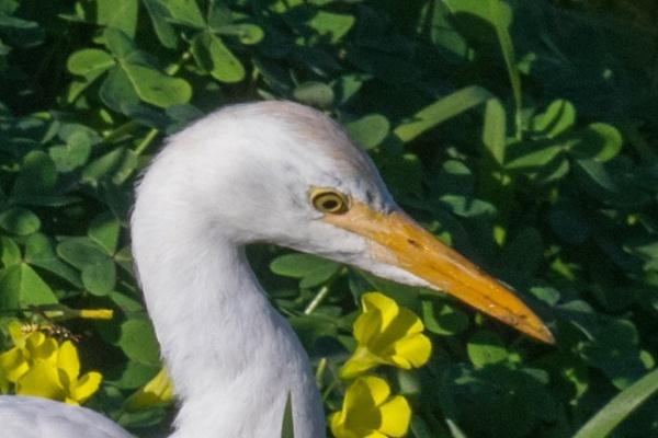 Egret Eye by geoffgt