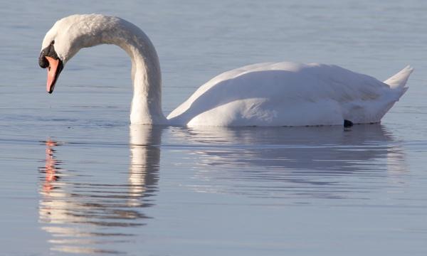 Swan ... by SocksAndStuff