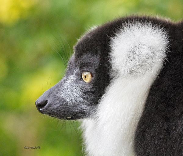 Ruffed Tailed Lemur (Varecia variegata) by DaveNewbury