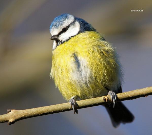 Blue-tit (Cyanistes caeruleus) by DaveNewbury
