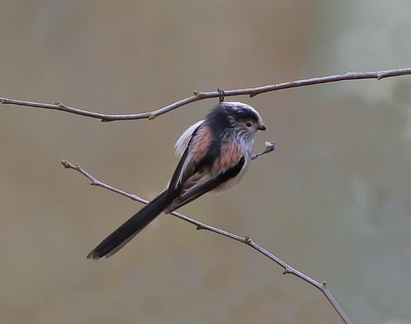 Long tailed tit by Juanita