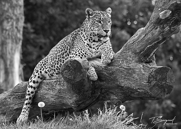 Leopard on guard by tristiansargeant