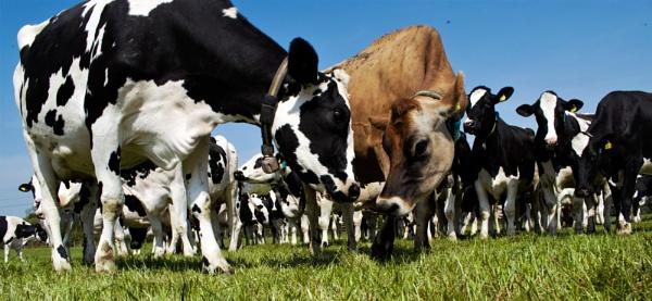 Holstein vs Jersey by abeckett26