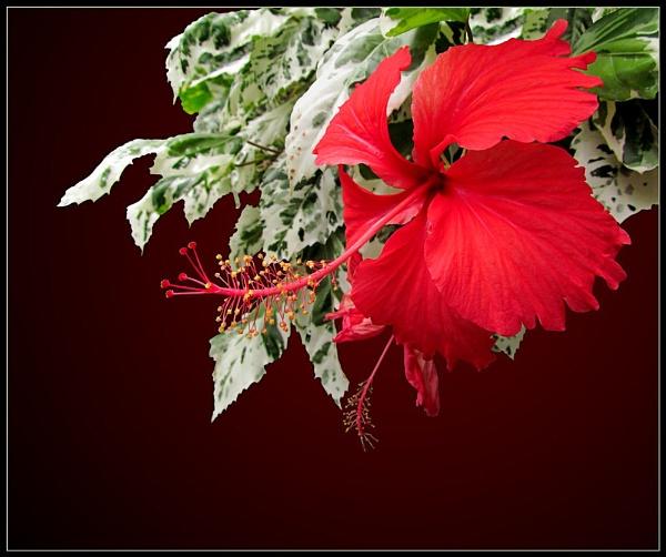 Red Hibiscus by pamelajean