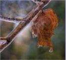 Icy leaf by Joline