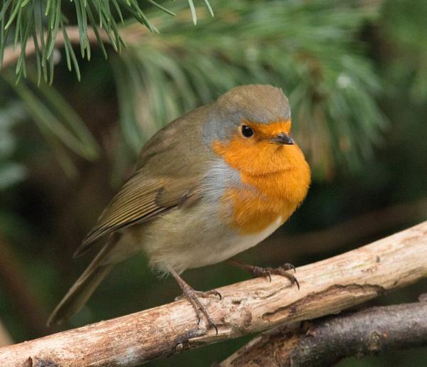 Robin by oldgreyheron