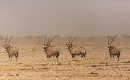5 Gemsbok  Namibia