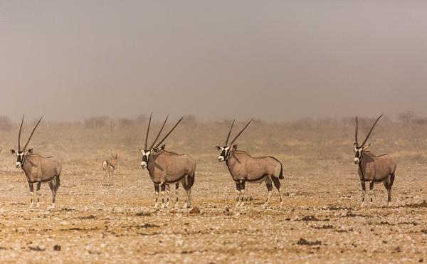 5 Gemsbok  Namibia by rontear