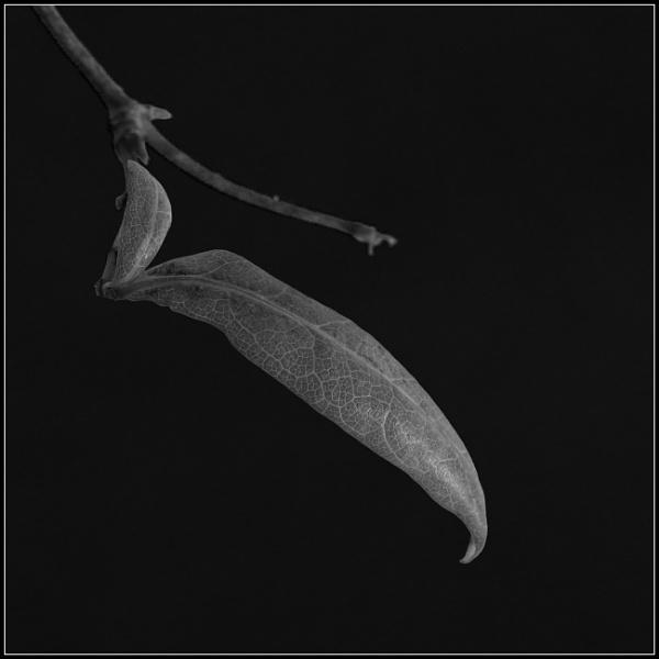 Leaf XVI by optik