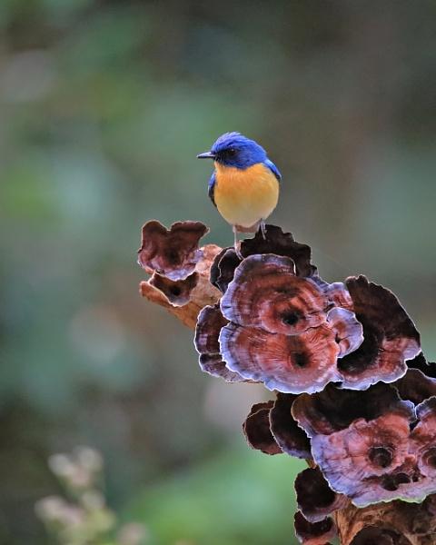 Tickel\'s blue flycatcher by drjskatre