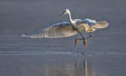 Egret jump