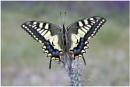 Eurpoean Swallowtail. by NigelKiteley