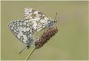 Marbled Whites. by NigelKiteley