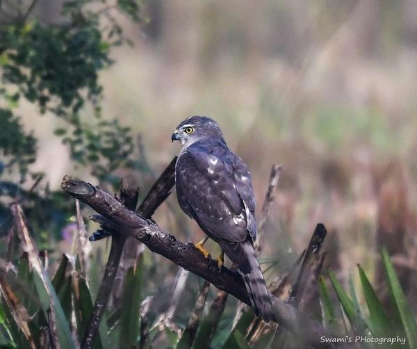 Sparrow Hawk by swami1969