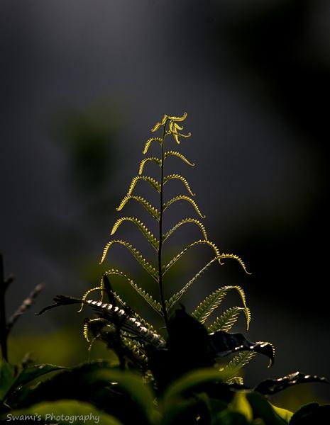 Backlit Fern by swami1969