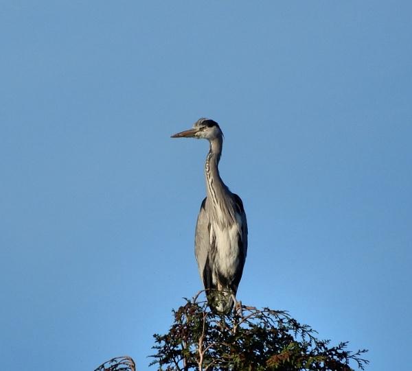 Suburban grey heron