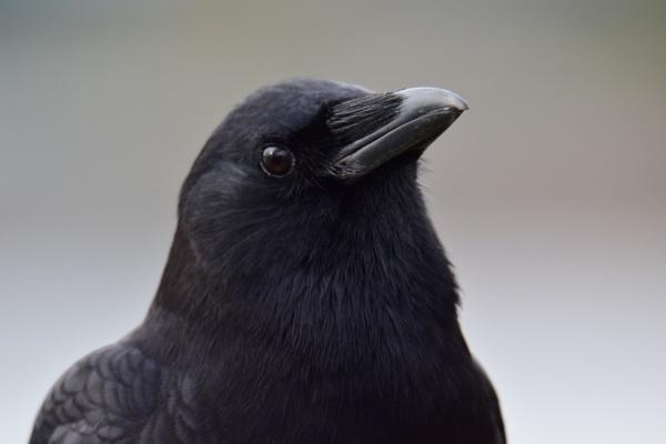 Crow Smiles by tonyguitar
