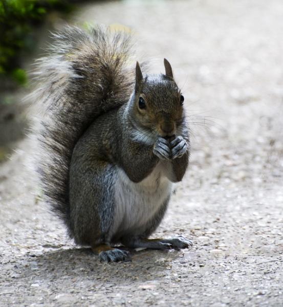 Grey Squirrel Feeding by ChristopherA