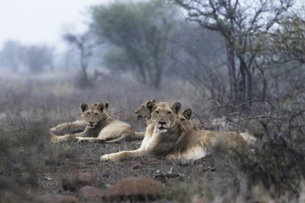LIONS IN THE RAIN by pottie