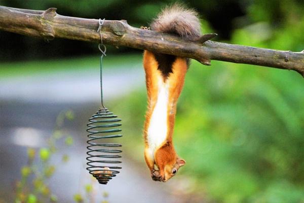 Acrobatic squirrel. by macprints
