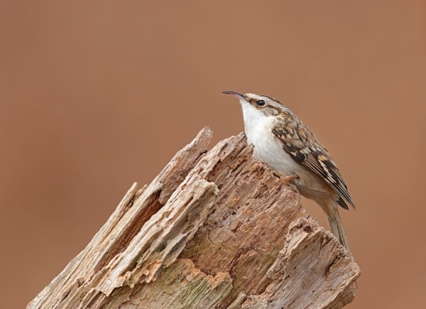 Treecreeper by Andy_brown
