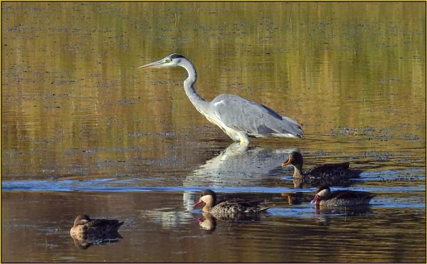 Grey Heron (Ardea cinerea) by Moebee
