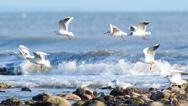 Black Headed Gulls in crashing waves by Wild_Pic