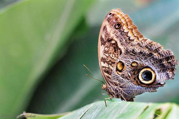 Ragged butterfly by AnnHarrisskitt