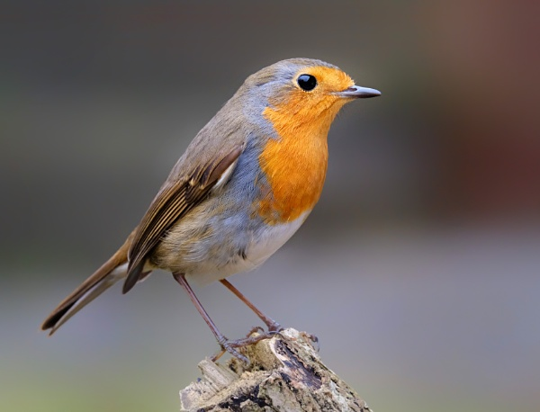 """Tuesday\'s Robin\"". by adrianedwa"