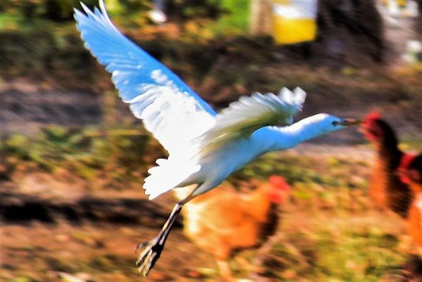 Egret in flight by geoffgt